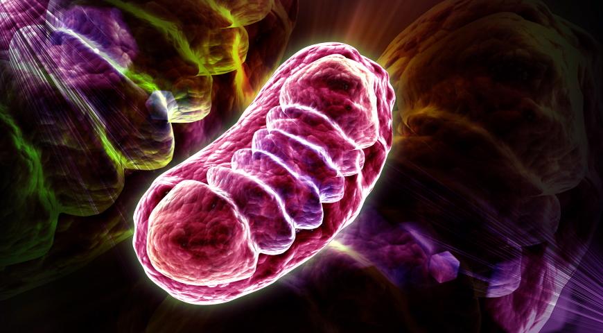 Mitochondria – znacznie więcej niż produkcja energii